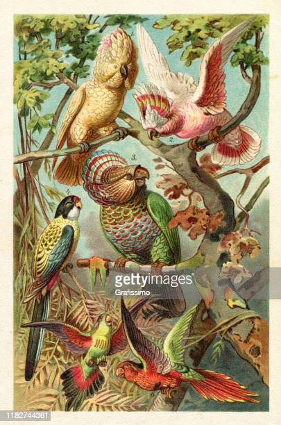 major mitchell's cockatoo parrot of australia illustration - graphic print stock illustrations