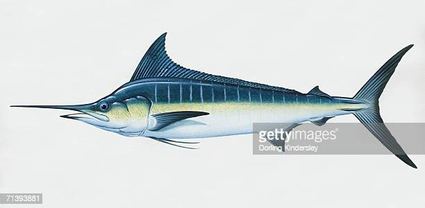 makaira nigricans, blue marlin, side view. - marlin stock illustrations, clip art, cartoons, & icons