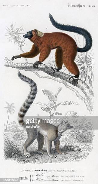 maki lemurs, scientific illustration 1860 - lemur stock illustrations, clip art, cartoons, & icons