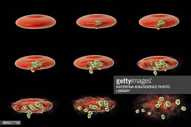 malaria merozoites, illustration - malaria parasite stock illustrations