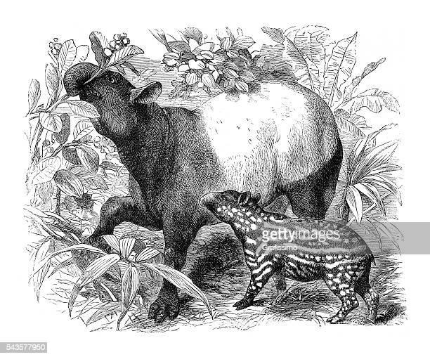 Malayan tapir Tapirus indicus engraving 1880