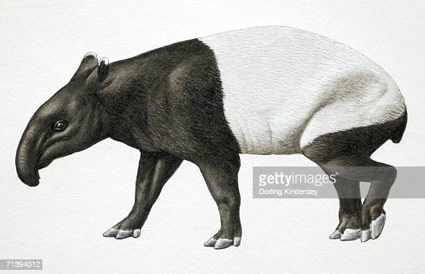 Malayan Tapir, Tapirus indicus, side view.