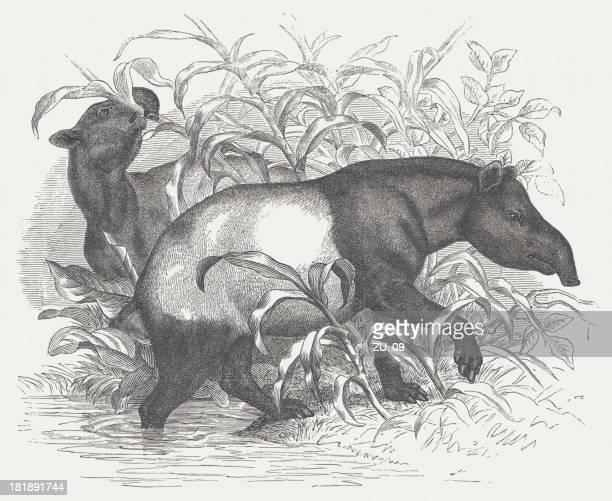 Malayan tapir (Tapirus indicus), wood engraving, published in 1875
