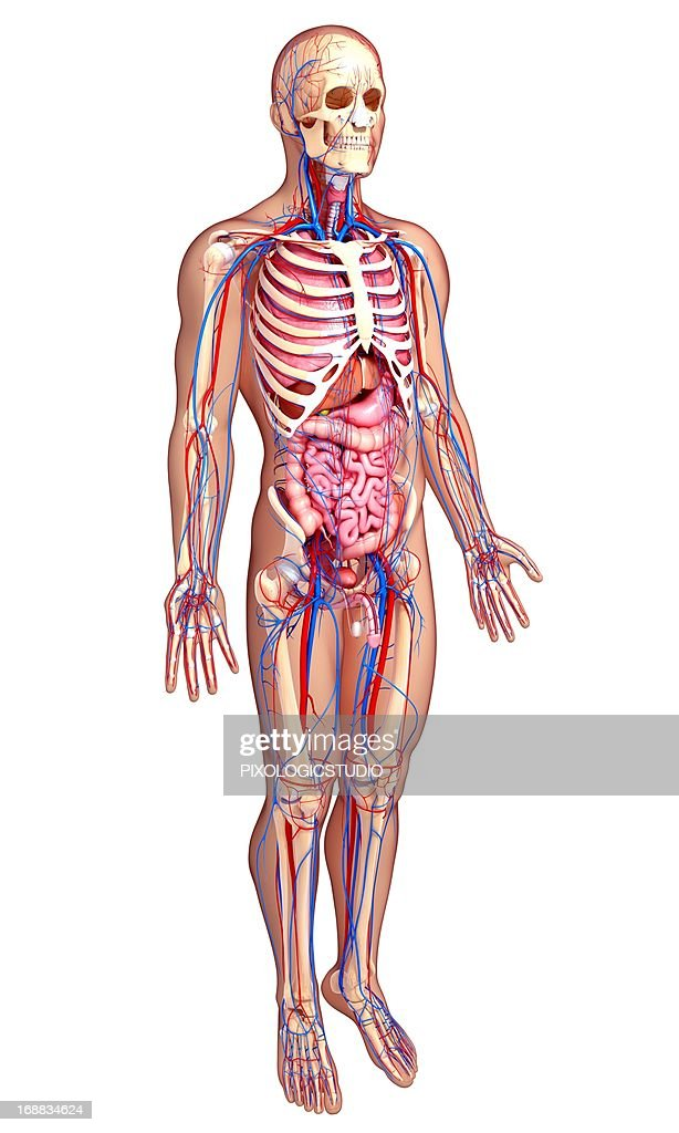 Male Anatomy Artwork Stock Illustration Getty Images