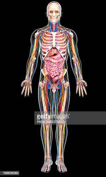 Male anatomy, artwork