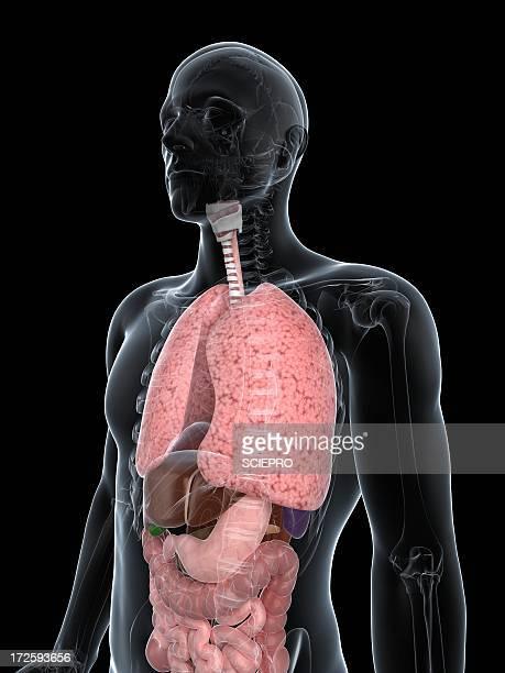 ilustraciones, imágenes clip art, dibujos animados e iconos de stock de male anatomy, artwork - sistema respiratorio