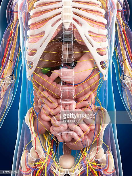 male anatomy, artwork - human intestine stock illustrations, clip art, cartoons, & icons