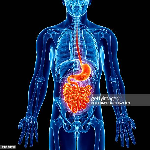 male anatomy, computer artwork. - human digestive system stock illustrations