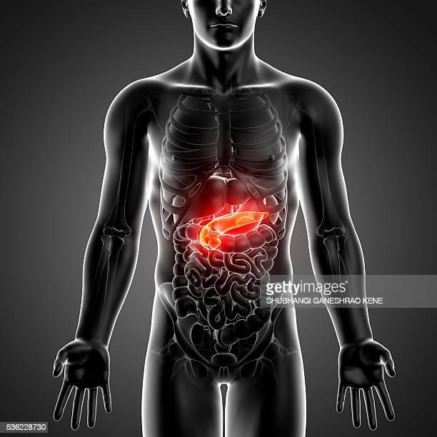 male anatomy, computer artwork. - pancreas stock illustrations