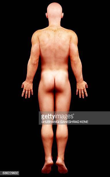 male anatomy, computer artwork. - full length stock illustrations, clip art, cartoons, & icons