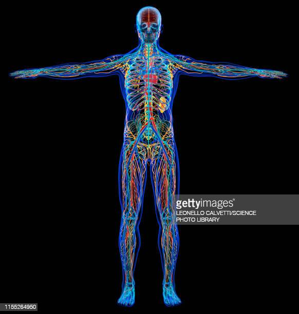 male anatomy, illustration - human body part stock illustrations
