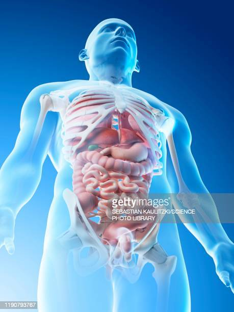 male anatomy, illustration - digestive system stock illustrations