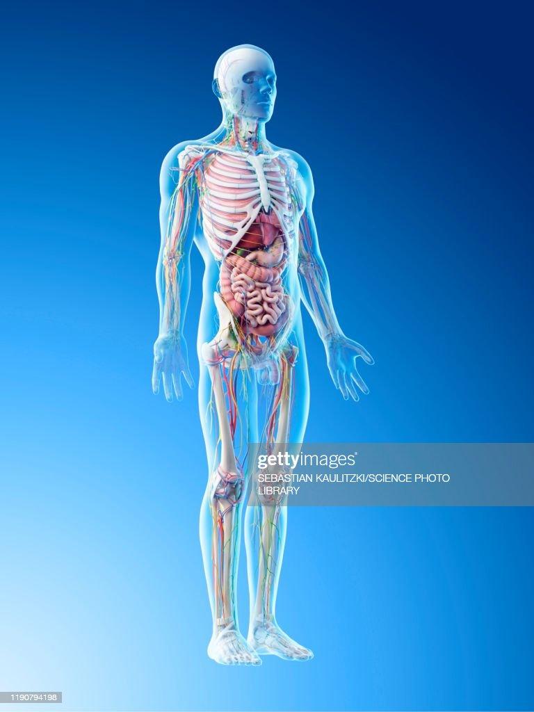 Male anatomy, illustration : Stock Illustration