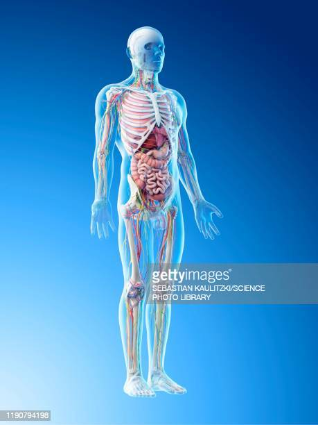 male anatomy, illustration - human intestine stock illustrations