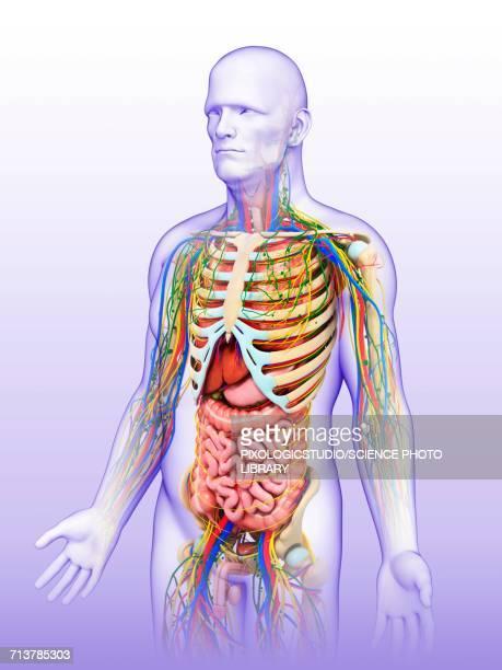 male anatomy, illustration - human intestine stock illustrations, clip art, cartoons, & icons