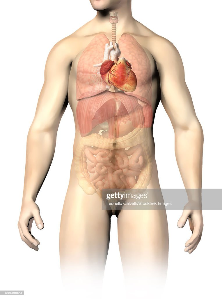 Male Anatomy Of Internal Organs With Heart Highlighted And Rest Of ...