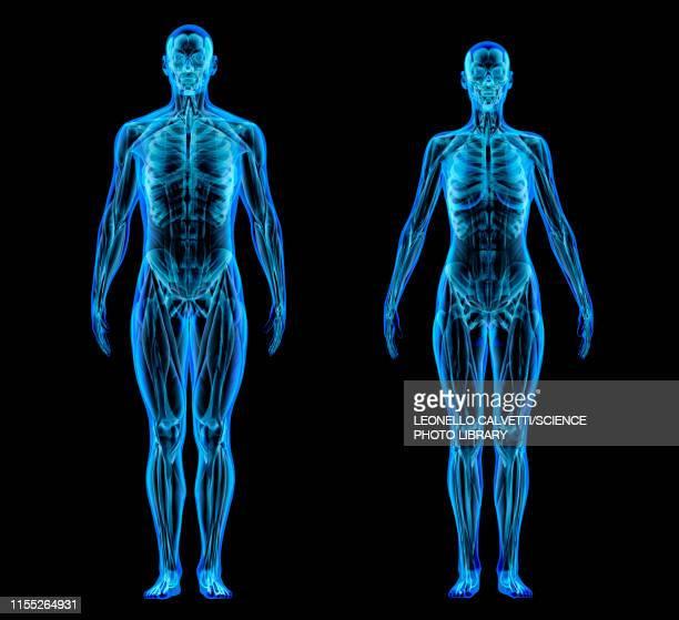 bildbanksillustrationer, clip art samt tecknat material och ikoner med male and female anatomy, illustration - the human body