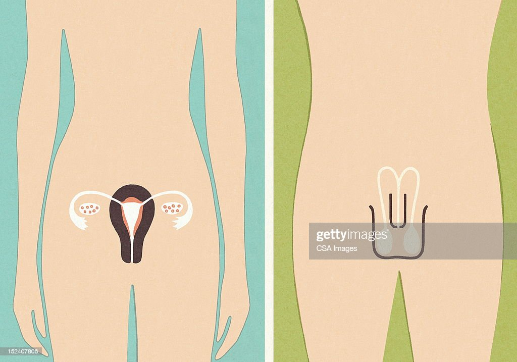 Male and Female Sex Organs : stock illustration