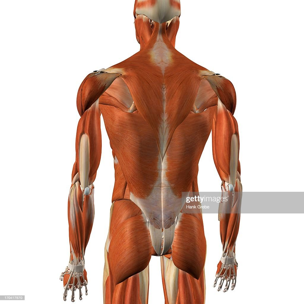 Male Back And Rear Muscles Detailed Anatomy Full Color 3d ...