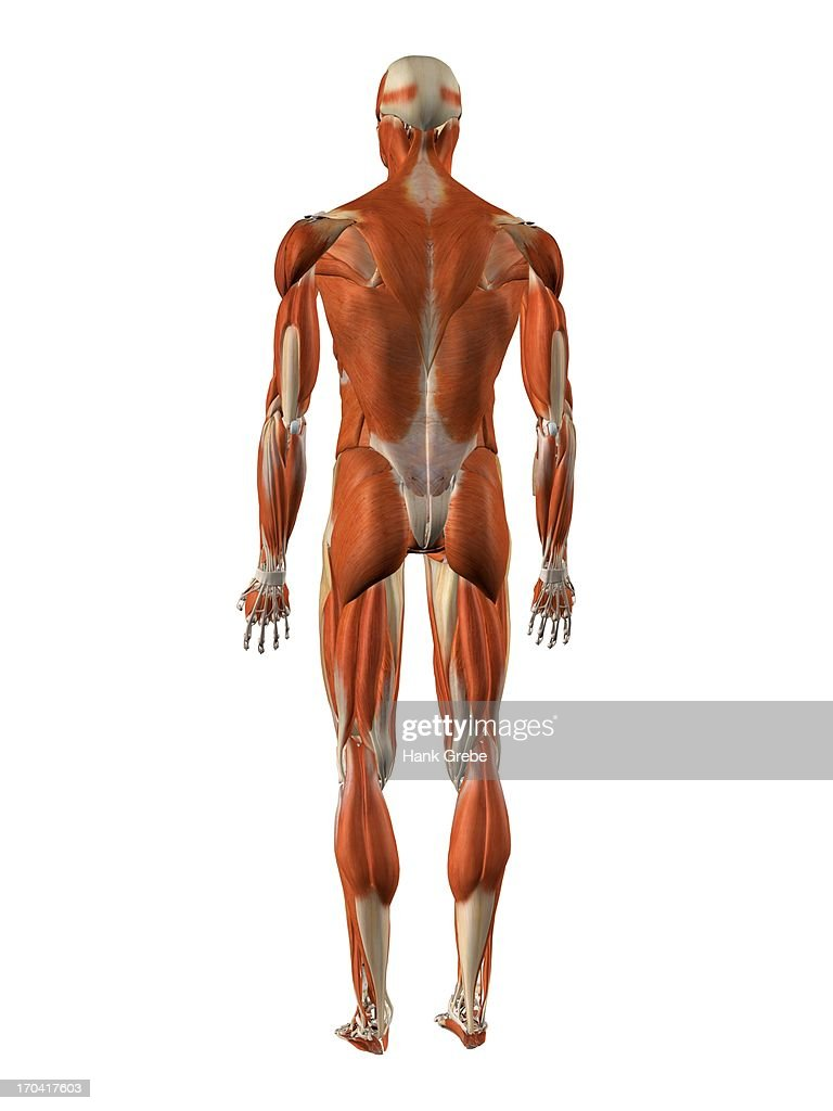 Male Back And Rear Muscles Detailed Anatomy Stock Illustration ...