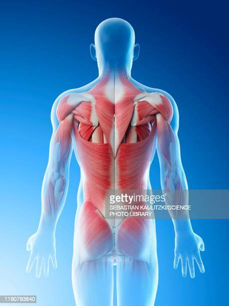 male back muscles, illustration - human internal organ stock illustrations