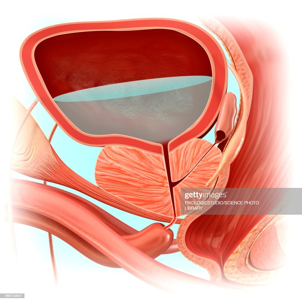 Male Bladder Anatomy Illustration Stock Illustration Getty Images