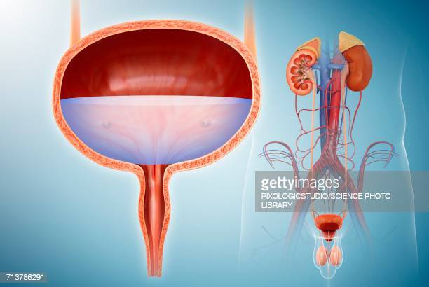 male bladder and urinary system, illustration - bladder stock illustrations, clip art, cartoons, & icons