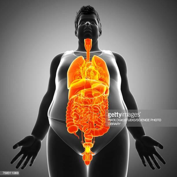 Male Torso Organs Illustration Stock Illustration | Getty Images