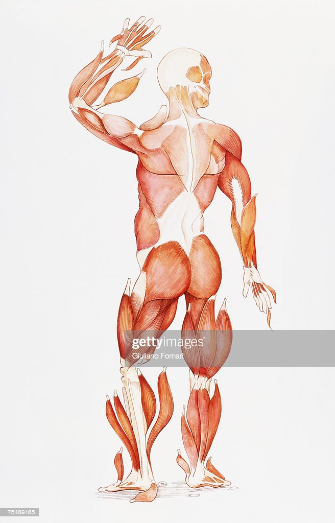 Male Body Stripped Of Skin And Showing Muscle Structure Stock