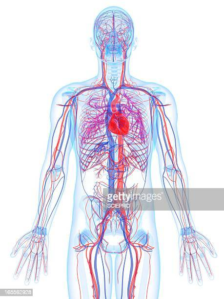 male cardiovascular system, artwork - blood vessel stock illustrations, clip art, cartoons, & icons
