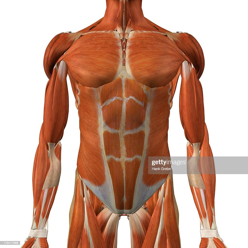 Male Chest And Abdominal Muscles Detailed Anatomy Full Color 3d ...