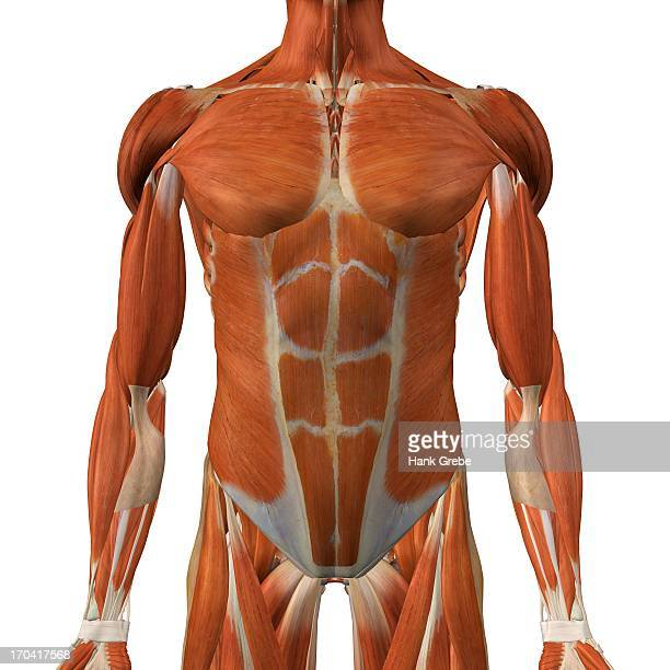 Anatomy Of Human Abdominal Muscles Stock Illustration Getty Images