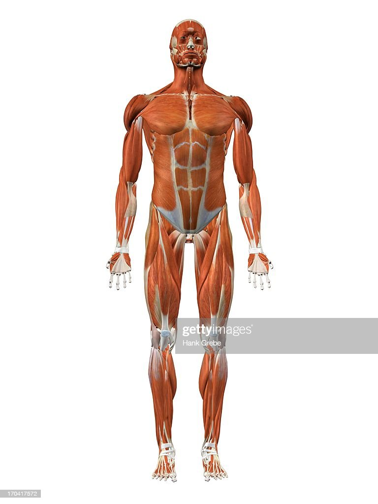 Male Chest And Abdominal Muscles Detailed Anatomy Stock Illustration