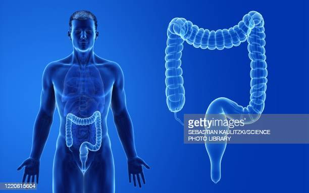 male colon, illustration - human intestine stock illustrations