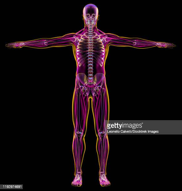 male diagram x-ray muscular and skeletal systems, on black background. - x ray image点のイラスト素材/クリップアート素材/マンガ素材/アイコン素材