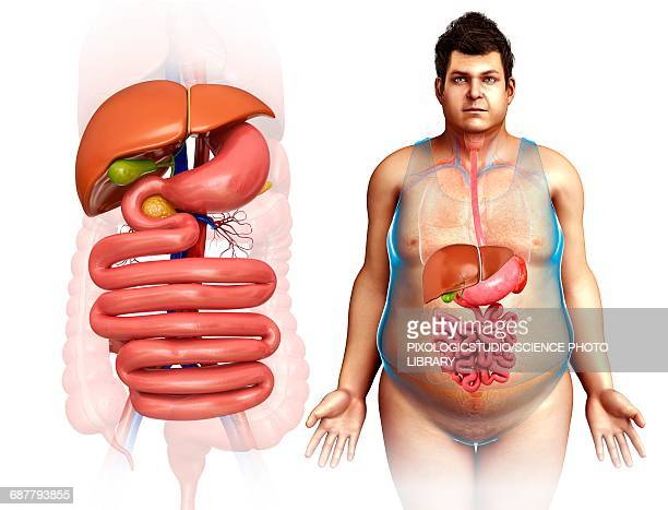 male digestive system, illustration - human liver stock illustrations, clip art, cartoons, & icons
