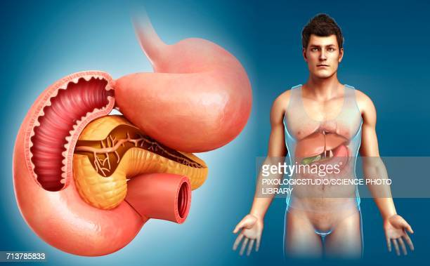 male digestive system, illustration - human small intestine stock illustrations