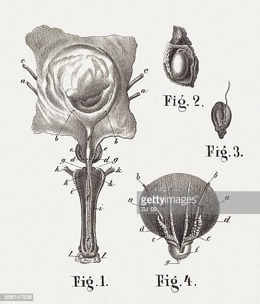female genital, steel engraving, published in 1861 - bladder stock illustrations, clip art, cartoons, & icons