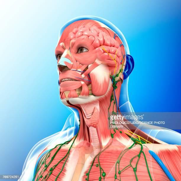 illustrazioni stock, clip art, cartoni animati e icone di tendenza di male head and chest anatomy, illustration - human face
