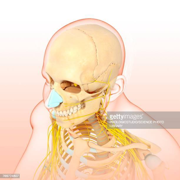 illustrazioni stock, clip art, cartoni animati e icone di tendenza di male head and chest bones and nerves, illustration - human face
