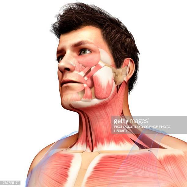 illustrazioni stock, clip art, cartoni animati e icone di tendenza di male head and chest muscles, illustration - human face