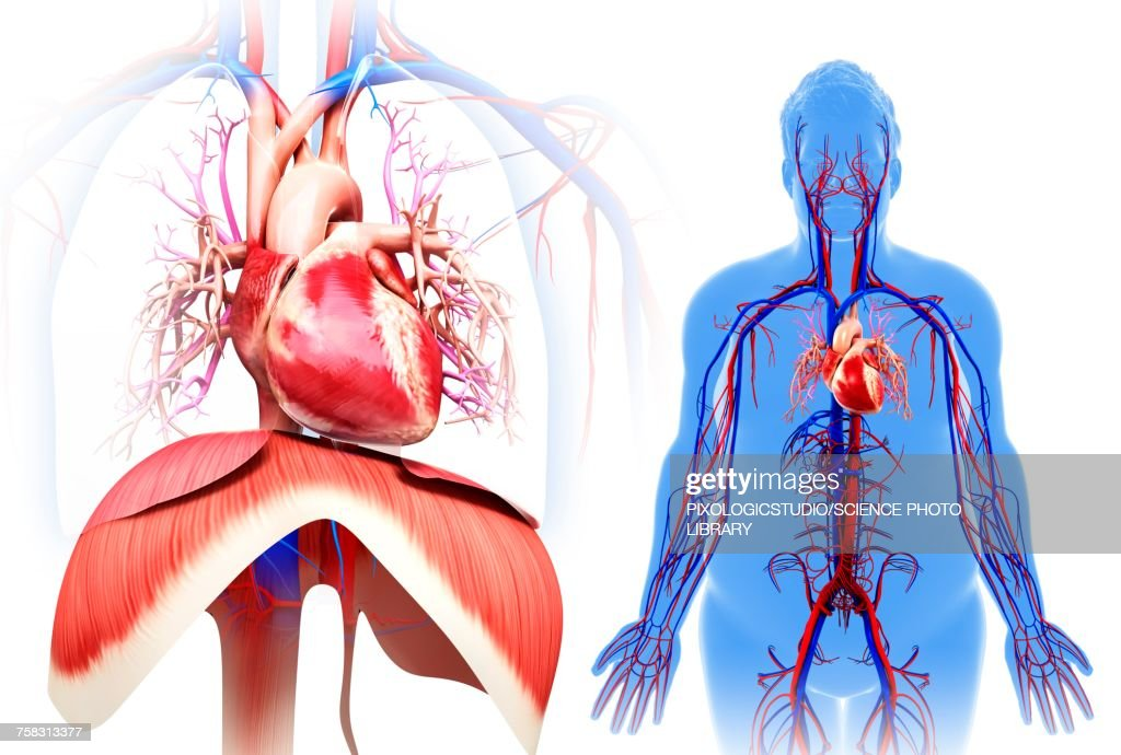 Male Heart And Diaphragm Illustration Stock Illustration Getty Images