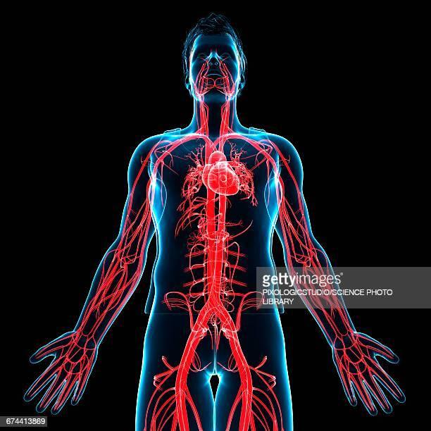 ilustraciones, imágenes clip art, dibujos animados e iconos de stock de male heart, illustration - sistema circulatorio