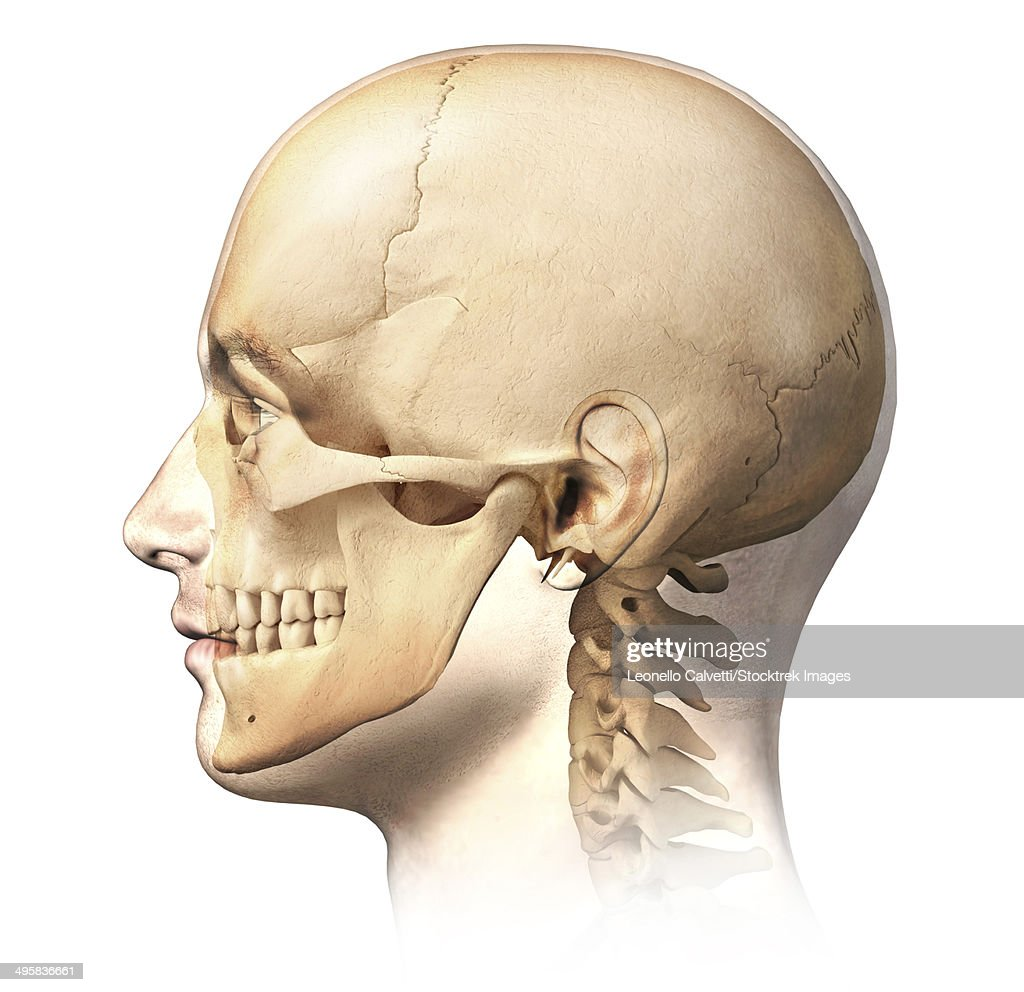 Zygomatic Bone Stock Illustrations And Cartoons | Getty Images