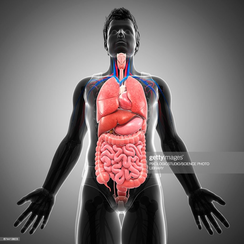 Male Internal Organs Illustration Stock Illustration | Getty Images