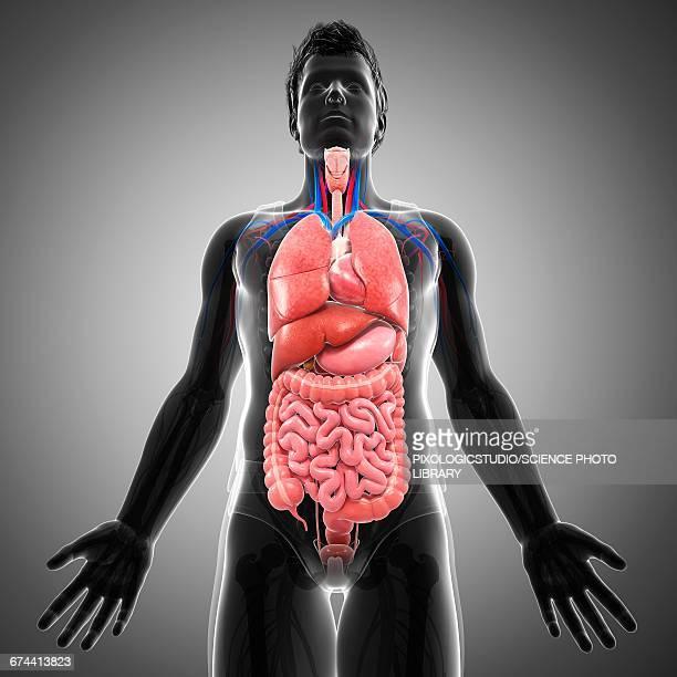 male internal organs, illustration - human small intestine stock illustrations