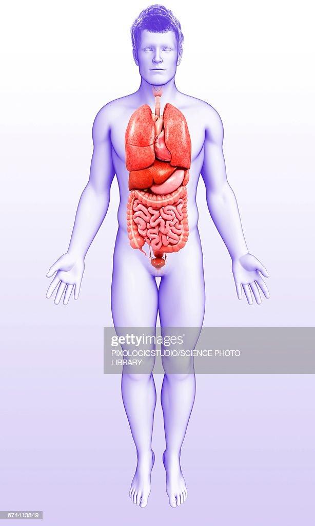 Male Internal Organs Illustration Stock Illustration   Getty Images