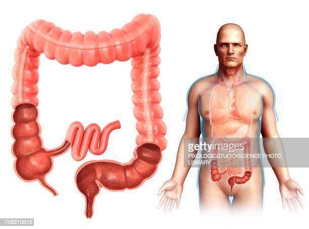 male large intestine anatomy, illustration - colon stock illustrations, clip art, cartoons, & icons