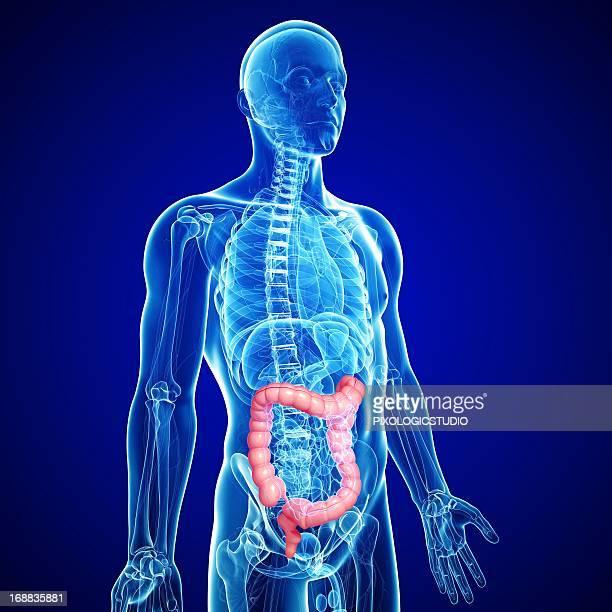 male large intestines, artwork - colon stock illustrations, clip art, cartoons, & icons