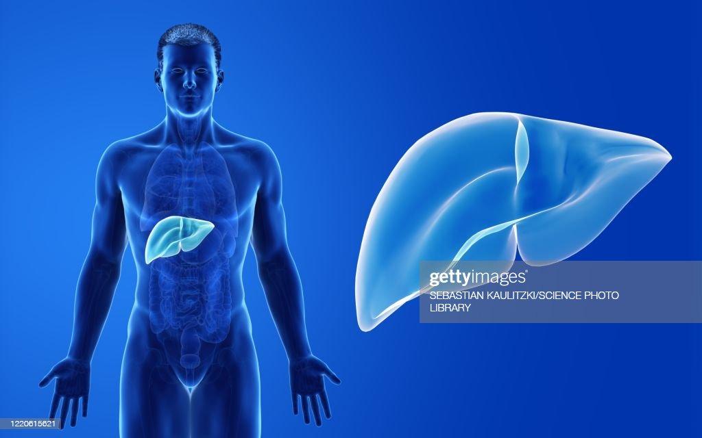 Male liver, illustration : stock illustration